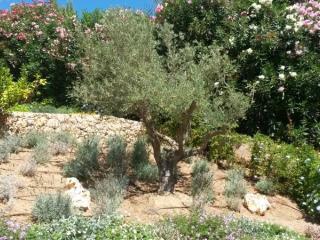 Olivier planté dans un jardin du Var