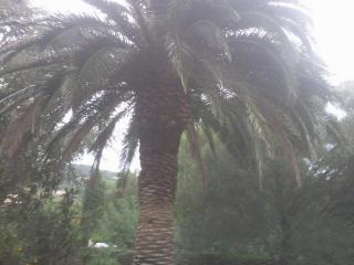 Palmier attaqué par le charançon rouge (Rynchophorus ferrugineus ) du palmier