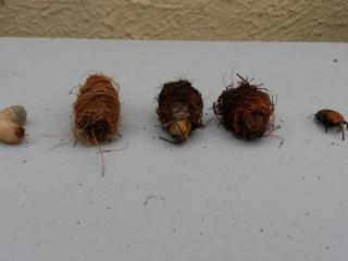 Charançons rouges retrouvés dans un palmier infecté traité par les jardiniers de JCM Paysage