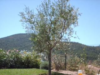 Un olivier en pleine santé dans un jardin de Sainte Maxime