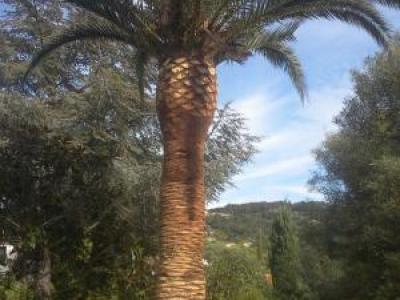 Elagage de palmiers