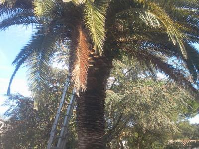 Élagage de palmiers toutes tailles