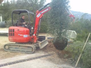 Plantation d'un olivier pyramidal