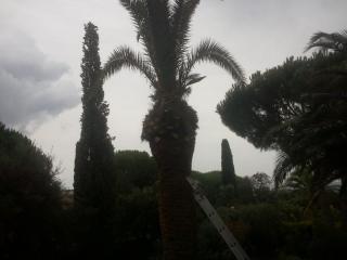 Palmier taillé et traité contre les parasites