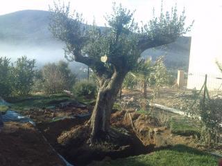 Olivier planté dans un jardin de Sainte Maxime, Var