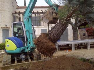 Transplantation d'un palmier .