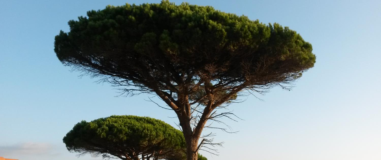 Élagage d'arbres : palmiers, pins parasols