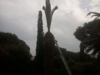 Assainissement du palmier par forte taille et traitement du coeur