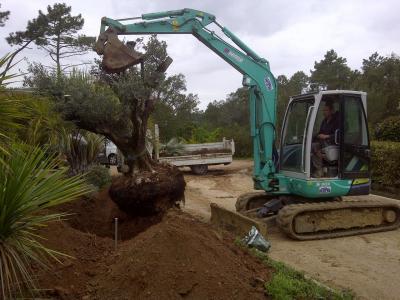 Transplantation d'arbre