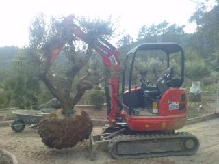 Plantation d'un olivier centenaire dans un jardin de la Côte d'Azur