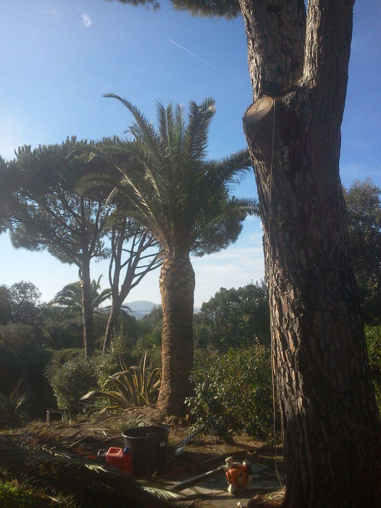 Elagage / Taille de palmiers - ADONIS PAYSAGES